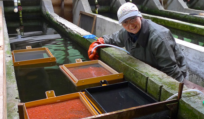 Maureen Brown sorts through eyed eggs in the Ted's Trout hatchery